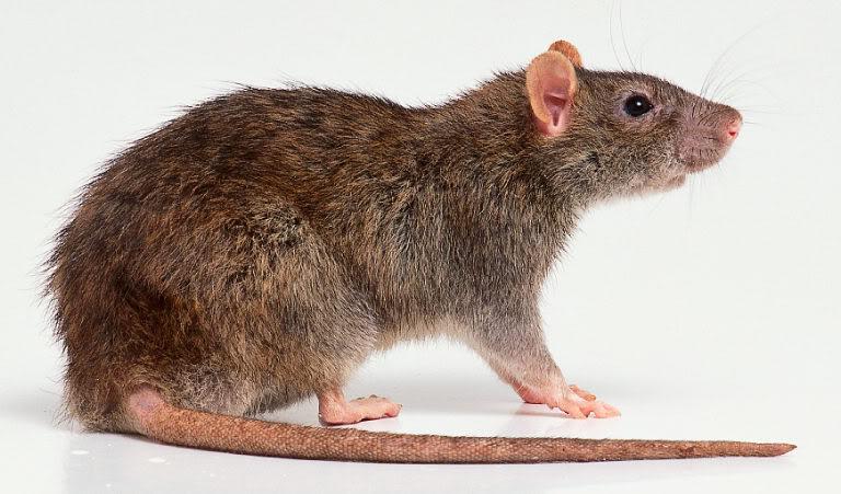 rat-1